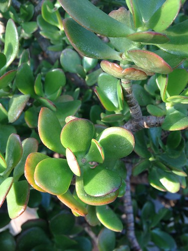jade plant planterra