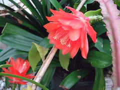 Epiphyllum