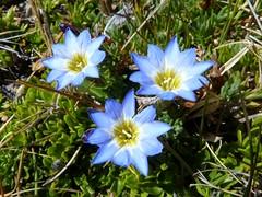 Gentianaceae of Ecuador