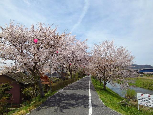 井原堤の桜 #2