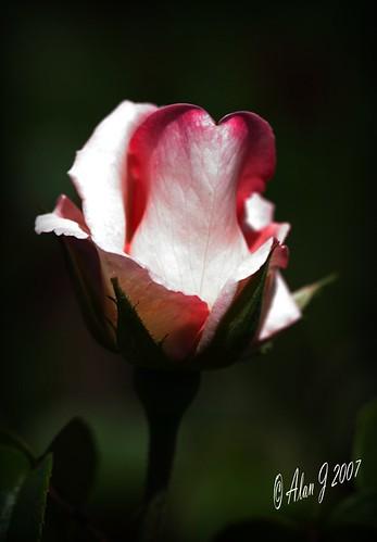 ny newyork flower rose canon 7d upstatenewyork capitaldistrict mygearandme ringexcellence 100mmmacrof28lisusm
