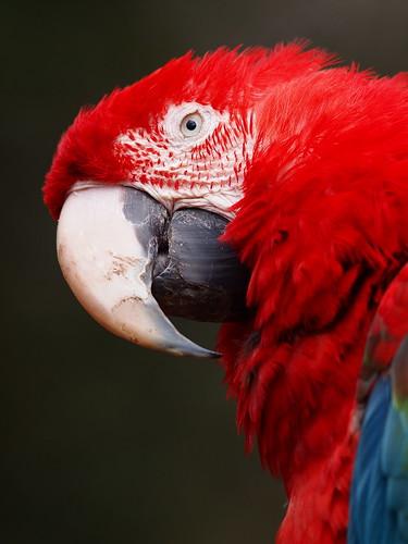 多摩動物公園 ベニコンゴウインコ