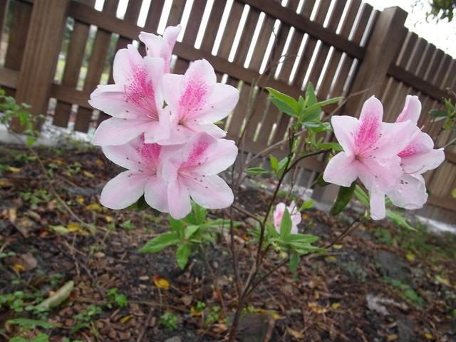 週邊種了少少幾樹杜鵑,花都開了