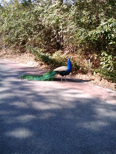 Bronx Zoo: Peacock
