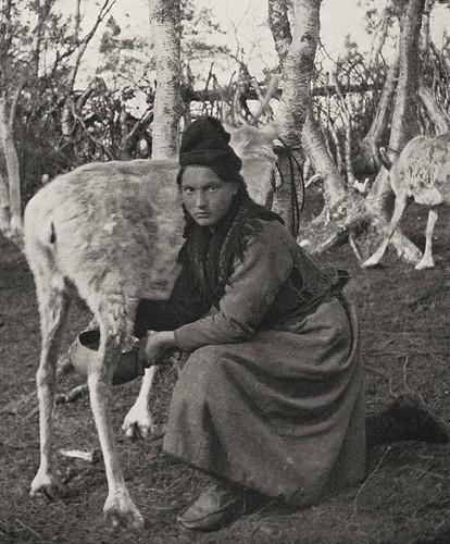 Sami woman in Sweden milking reindeer. Svensk samisk kvinne som melker reinsdyr.