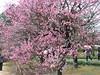 偕楽園の梅 (2012/03/10)