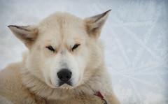 dog breed(1.0), animal(1.0), akita inu(1.0), canis lupus tundrarum(1.0), west siberian laika(1.0), dog(1.0), hokkaido(1.0), czechoslovakian wolfdog(1.0), gray wolf(1.0), pet(1.0), norwegian buhund(1.0), east siberian laika(1.0), greenland dog(1.0), kishu(1.0), korean jindo dog(1.0), wolfdog(1.0), saarloos wolfdog(1.0), carnivoran(1.0),