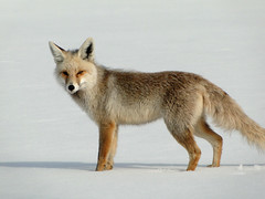 animal, canis lupus tundrarum, gray wolf, mammal, grey fox, fauna, red fox, wolfdog, coyote, wildlife,