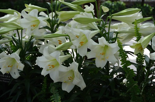 East Lilies in Conservatory