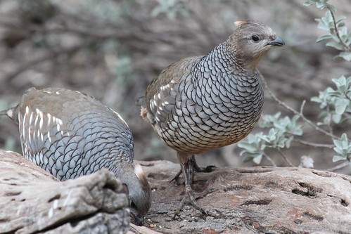 Scaled quail by ricmcarthur