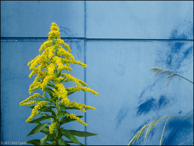 Goldenrod, I think.