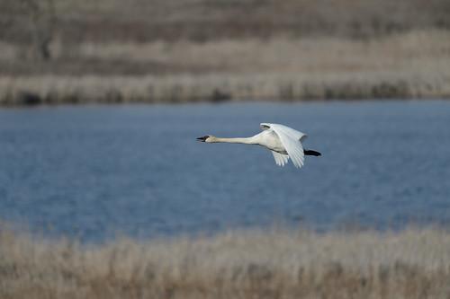 Flying Swan-49388.jpg