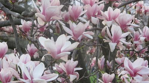 Elizabeth Park magnolia blossoms 1 by Coyoty