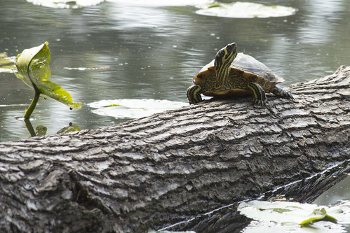 Yellow-Bellied Pond Slider Turtle by bahayla