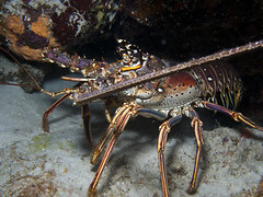 locust(0.0), crayfish(0.0), homarus(0.0), food(0.0), spiny lobster(1.0), animal(1.0), lobster(1.0), crustacean(1.0), seafood(1.0), marine biology(1.0), invertebrate(1.0), fauna(1.0), homarus gammarus(1.0), american lobster(1.0),