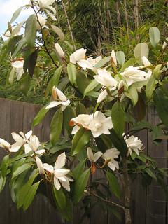 Michelia platypetala
