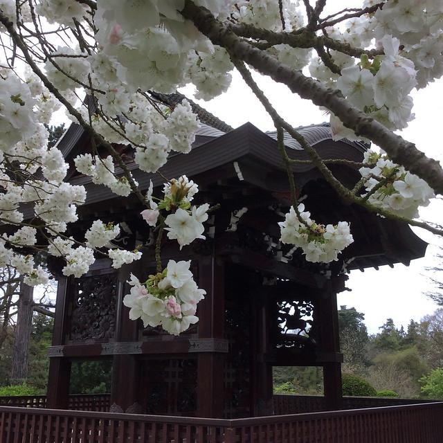 Kew cherry blossom Prunus Tai Haku