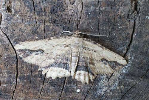 Waved Umber (Menophra abruptaria)