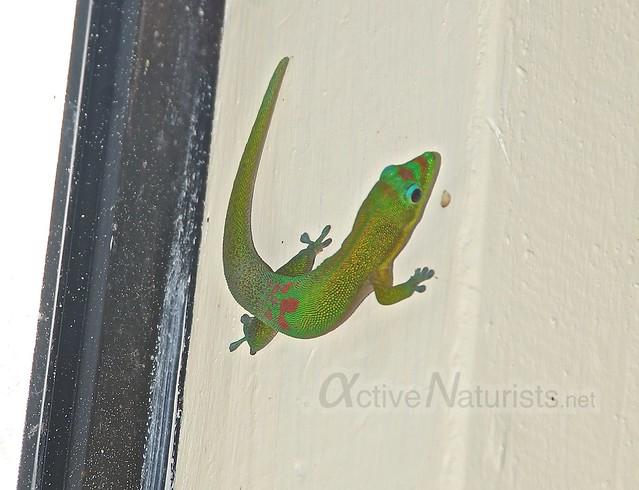 gecko 0001 Kalani resort, Hawaii, USA