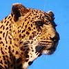 Dewane male #leopard #africansafari #ig_africa #wildlife_perfection #wildography by robtheranger