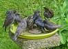 Sociable Starlings