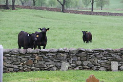 Cattle finally introduce themselves