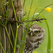 Peeping Little Owl (wild) by TimBrook | Photo