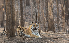 Collarwai - Pench Tiger Reserve, Madhya Pradesh