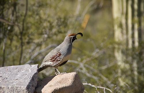 quail sentry