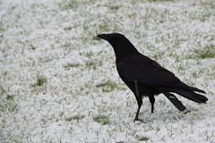 perching bird(0.0), cinclidae(0.0), emberizidae(0.0), eurasian magpie(0.0), blackbird(0.0), magpie(0.0), animal(1.0), wing(1.0), raven(1.0), crow(1.0), fauna(1.0), american crow(1.0), beak(1.0), bird(1.0), rook(1.0), wildlife(1.0),