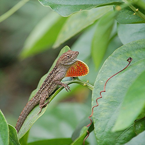 "Cuban Brown Anole with ""strawberry"" dewlap for attracting and repelling by jungle mama"