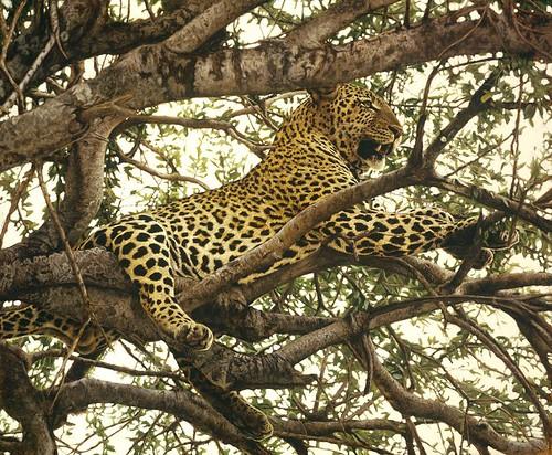 """'Leopard in a Tree' oil on board 17"""" x 20½"""