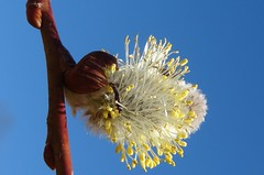 Pussy willow (Salix) flower against the sky