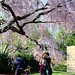 Everyone Loves the Weeping Cherry