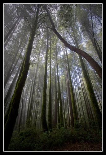 california tree redwood bigbasinredwoods