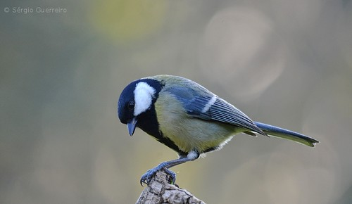 Chapim-Real / The Great Tit / (Parus major) by Sérgio Guerreiro