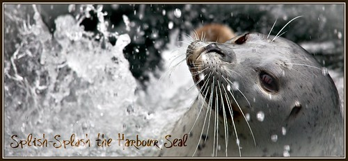 Splish-Splash the Harbour Seal