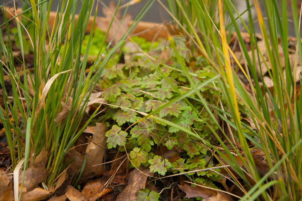 geranium katherine adele  1240