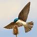 Tree Swallow - (Mar 2012) by Malcolm Benn