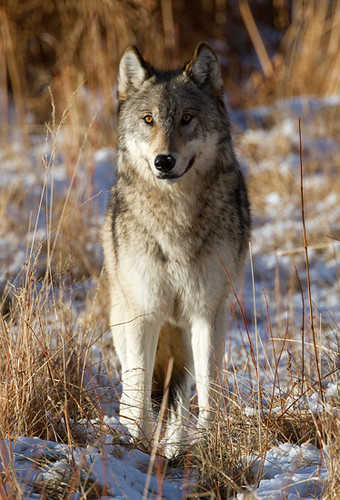 Gray Wolf by Max Waugh Photography
