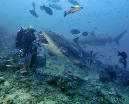 SharkDiveFiji4