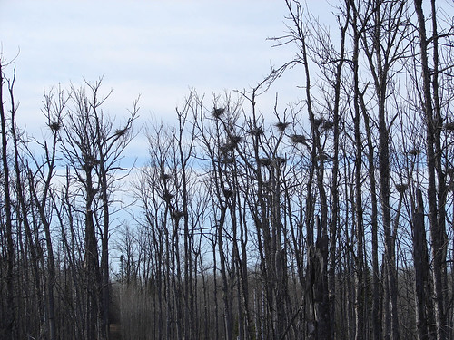 Great Blue Heron nest colony or heronry