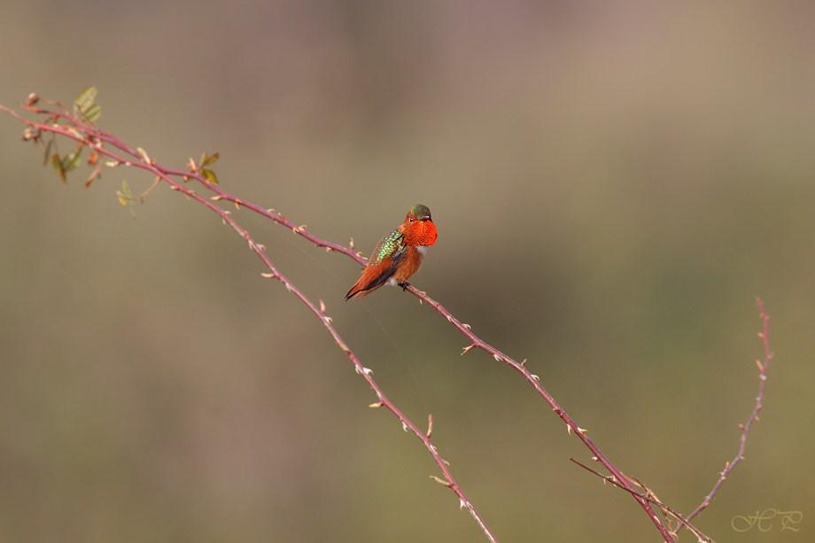 Allen's Hummingbird 022012-7