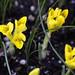 Iris reticulata danfordiae by Meighan