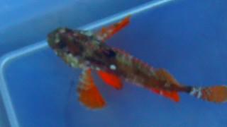 008 Japanese Waspfish