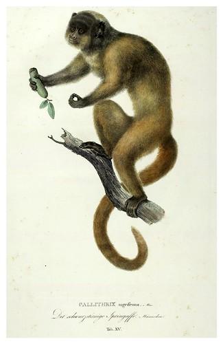 008-Simiarum et Vespertilionum Brasiliensium especies novae 1823- Baptist von Spix