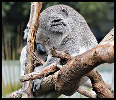 koala (16)