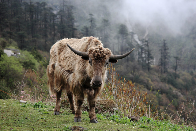 A yak on the way to Yumthang Valley,Sikkim,India