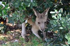 6947453597 3947dfc466 m Kangaroos on the Beach in Australia