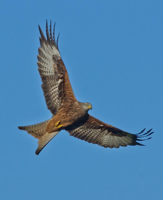 red kite 12
